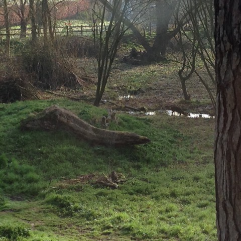 Muntjac at Poor Well 2