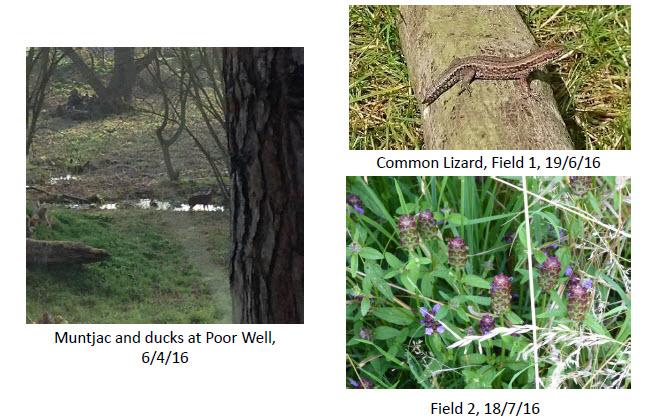 Muntjac in Fields